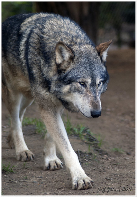 Canis Lupus Lycaon Or Eastern Timber Wolf To Us Non Latin