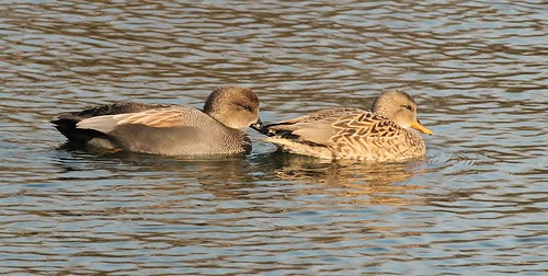 Gadwall couple