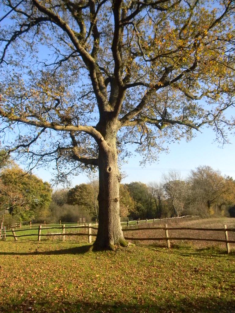 Nice tree Buxted Circular