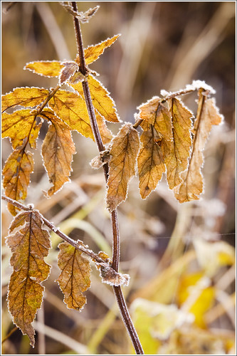 20111025. Fall. Frost. 9088. by Tiina Gill