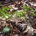Cauliphyllum thalictroides- blue cohosh