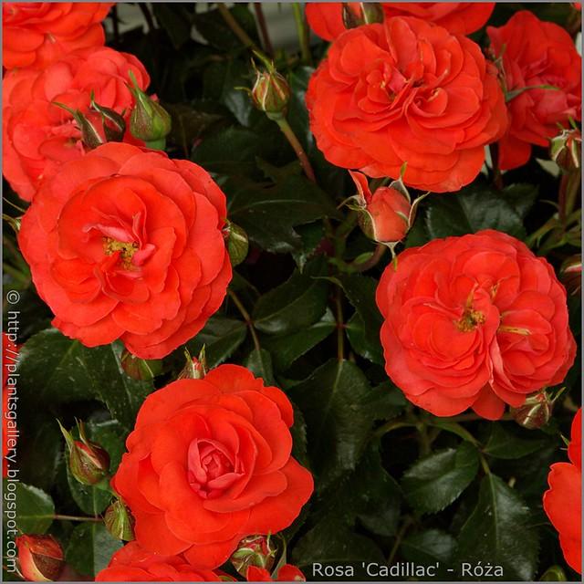 Rosa 'Cadillac' - Róża 'Cadillac'