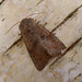 Small photo of Lead coloured Drab. Orthosia populeti. Male.