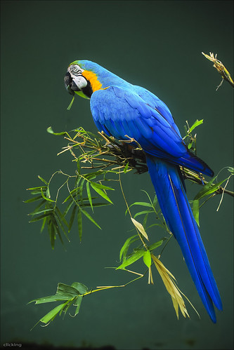 Blue Parrot [ EXPLORED ] by -clicking-