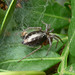 Small photo of Agelenidae, Agelena labyrinthica