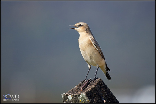 lebanon bird canon eos dof post zoom bokeh pennsylvania depthoffield pa telephoto 5d northern rare markii rarity wheatear 100400 lickdale