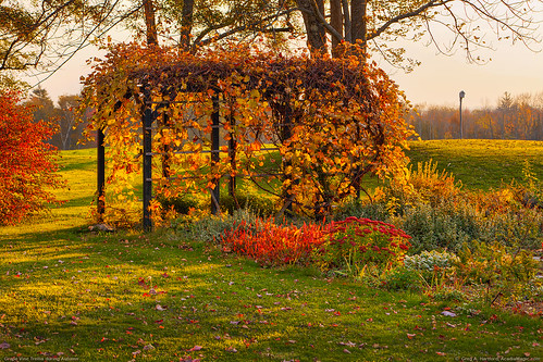 Grapevine Arbor - Maine Autumn