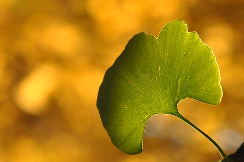 autumn sunlight detail green fall leaves lines yellow contrast golden leaf ginkgo stem october focus bokeh background 銀杏 maidenhairtree ginkgobiloba depth radiant ginnan limned yínxìng ichō