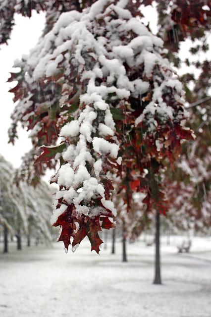 Scarlet oak. Photo by Romi Ige.