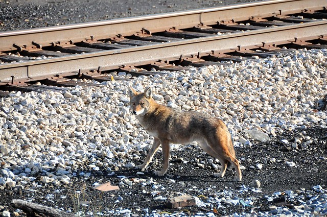 coyote by rail tracks