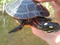 animal, turtle, box turtle, reptile, fauna, emydidae,