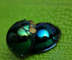 Steelblue Ladybug - Photo (c) James Niland, some rights reserved (CC BY)