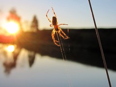 Spider on Web Quarta Sunset 91