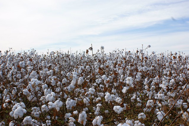 Cotton Field Family Grandmother Foreshadowing