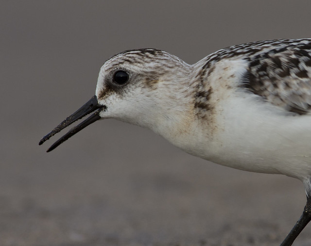 sanderling close up