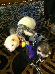 kitten(0.0), puppy(0.0), dog(0.0), cat(0.0), animal(1.0), weasel(1.0), rat(1.0), pet(1.0), mammal(1.0), ferret(1.0),