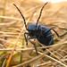 11-14-11: A Beetle