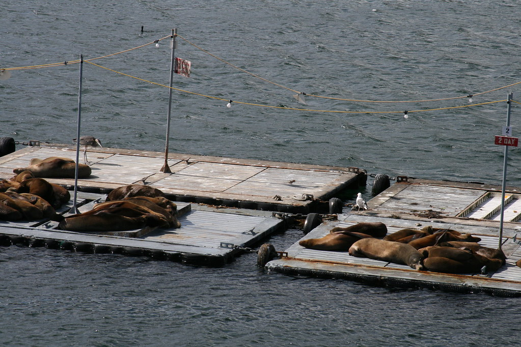 California Sea Lions at Point Loma Bait Barge