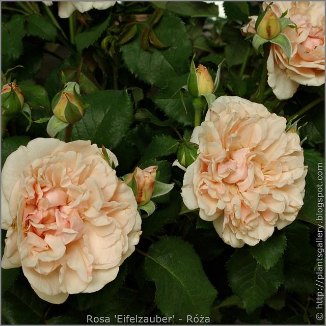 Rosa 'Eifelzauber' - Róża