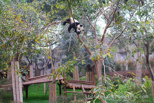 Pandas in Chengdu China 7