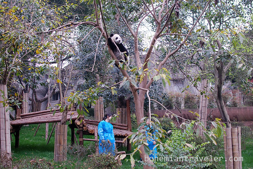 Pandas in Chengdu China 8