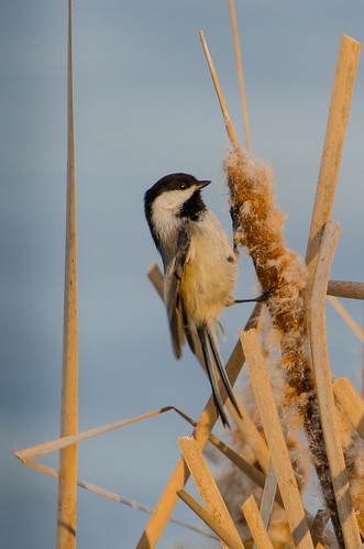 Chickadee on Cattail-0936.jpg