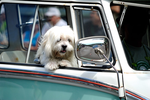 Waikiki St. Patricks Day Parade - Cute dog