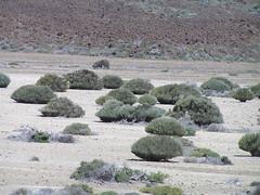 Teide broom