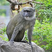 Small photo of Allen's Swamp Monkey (Allenopithecus nigroviridis)