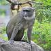Allen's Swamp Monkey (Allenopithecus nigroviridis)