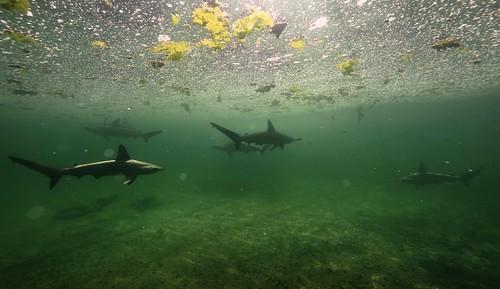 難得一見的鯊魚群,在台灣人的沙魚煙中無分別逐漸消失。(攝影:柯金源)