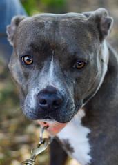 terrier(0.0), dog breed(1.0), animal(1.0), pit bull(1.0), dog(1.0), pet(1.0), american pit bull terrier(1.0), carnivoran(1.0), staffordshire bull terrier(1.0),
