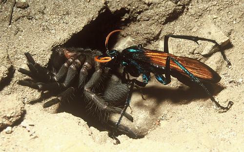 Pepsis with a tarantula