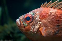 Red Fish, Red Eye
