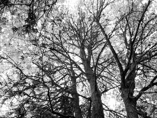 Trees in B&W
