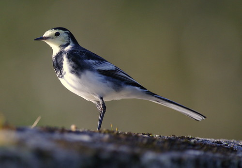 Pentax K20D.SMC-DA 300mm Pentax Lens.Pied Wagtail Through Glass.October 27th 2011.