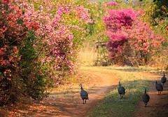 Guinea fowl walking on a farm road