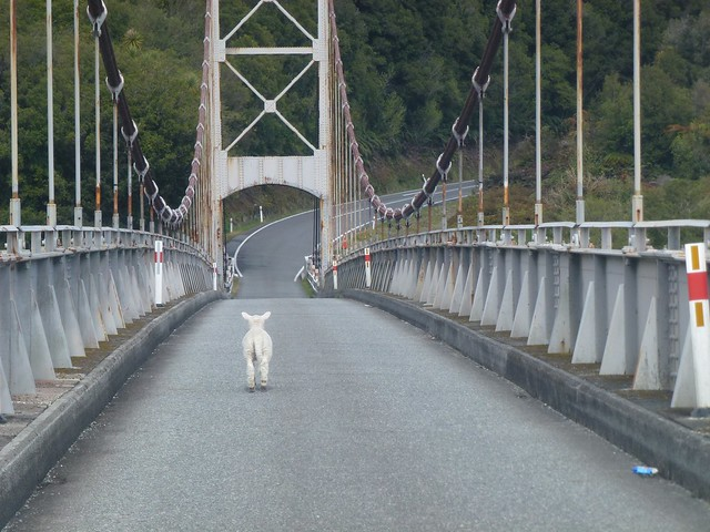 A little lamb trying to cross the bridge on Highway 6