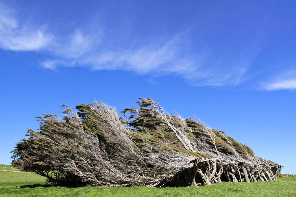 Новозеландские кривые деревья