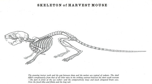 mouse skeleton diagram Blank Skull Diagrams Human Skull Labeled Diagram