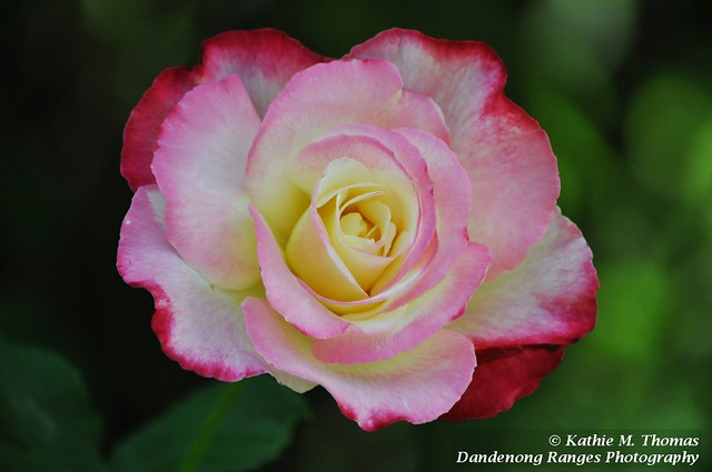 322-365 Double Delight Rose