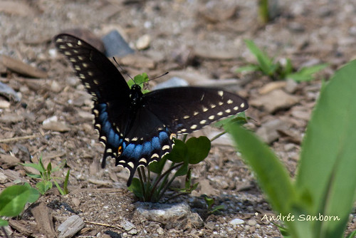 Eastern Black Swallowtail female (Papilio polyxenes)-1.jpg
