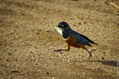Manyara NP - Bird feeding