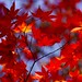 Autumn leaf color by INABA Tomoaki