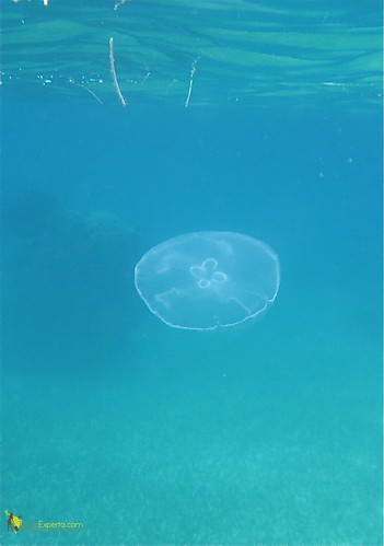 Jelly Fish Caribbean Sea