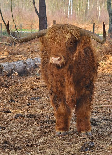 Highland Cattle Thornden Woods Blean by Kinzler Pegwell