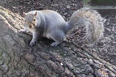 rodent(0.0), viverridae(0.0), animal(1.0), squirrel(1.0), fox squirrel(1.0), mammal(1.0), fauna(1.0), wildlife(1.0),