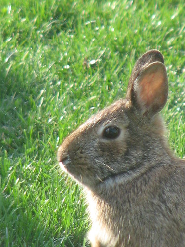 Spring Bunny 006