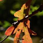 Oak leaf catching a ray of sun (13903)