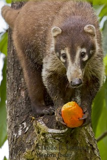 Coati_the_Crook_WEB_9875